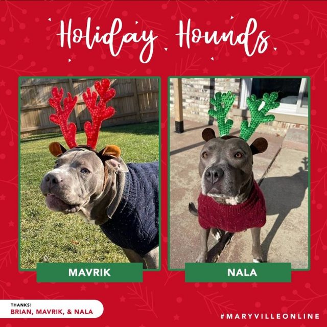 """""""We're celebrating this year by getting the pups new sweaters and antlers!""""   Mavrik and Nala are standing by, ready to sub in for Santa's reindeer at any moment. Thanks for helping us spread holiday cheer this year, Brian J.!   #maryvilleonline #maryvilleuniversity #maryvilleu #happyholidays #merrychristmas #holidaycheer #dogsofinstagram #christmasdogs"""